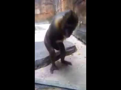 Monkey masturbates man