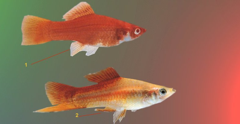 Prairie reccomend Secondary sex characteristics in a fish